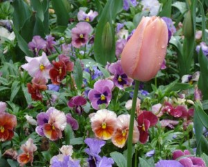 A pink tulip rises above a bed of pansies as Garden Lover's Weekend at Tryon Palace draws closer