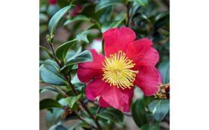 Twin Rivers Camellia Club